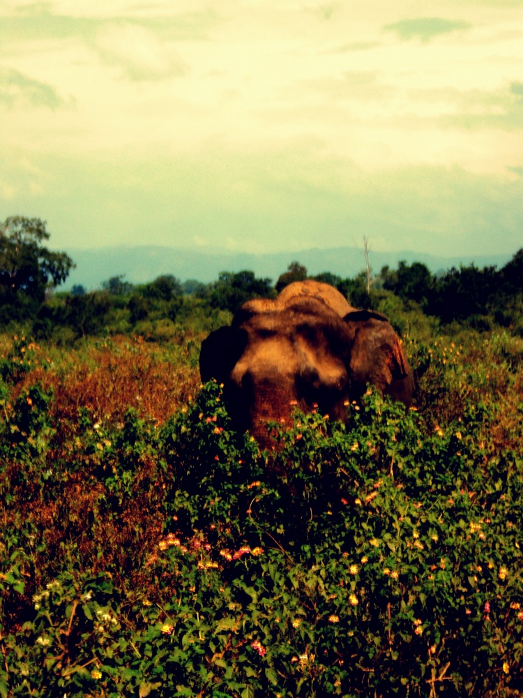 Lone elephant in Udawalawe 'Thaniya'