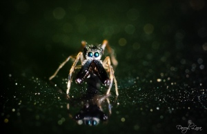It can be a bit tricky to focus on quick moving subjects like my favorite Jumping Spiders…